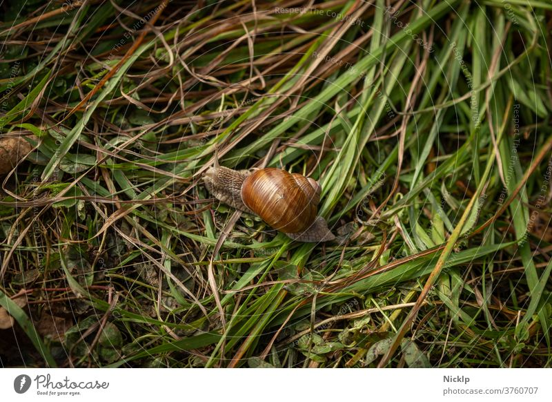 Weinbergschnecke im Gras Weinbergschnecken Schnecke schneckenhäuschen Schneckenhaus Kaiserschnecke Helix pomatia Helicidae glänzend von oben Fühler Gräser