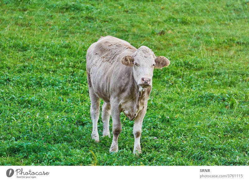 Kuh auf der Weide Tier landwirtschaftlich Ackerbau bovin Rind Milchtier domestizierte Huftiere im Freien Weideland Grasland Futterplatz leasow Landschaft