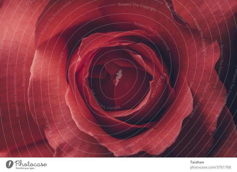 Red Rose Nahaufnahme Makro - Abstrakter Hintergrund . Detail eines Rosenblattes als Hintergrundbild. Roséwein Blume Liebe Romantik Valentinsgruß Schönheit
