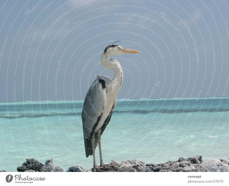 Kranich Meer Sommer Strand Verkehr Malediven Vogel