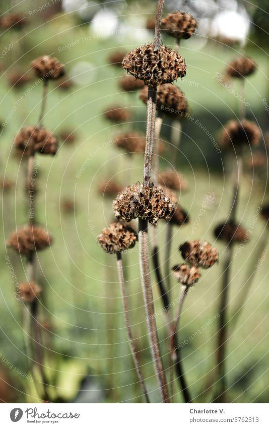 Trockenblumen Blumen Stauden vertrocknet verblüht Samenkapseln Pflanze Natur Herbst Farbfoto Schwache Tiefenschärfe trocken Vergänglichkeit Außenaufnahme Tag