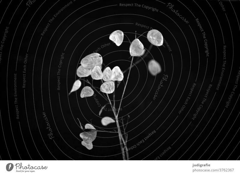 Lunaria mit silbernem Blatt silberblatt Pflanze Pflanzenteile Schwarzweißfoto Natur Botanik pflanzlich zart Zweig Samen trocken