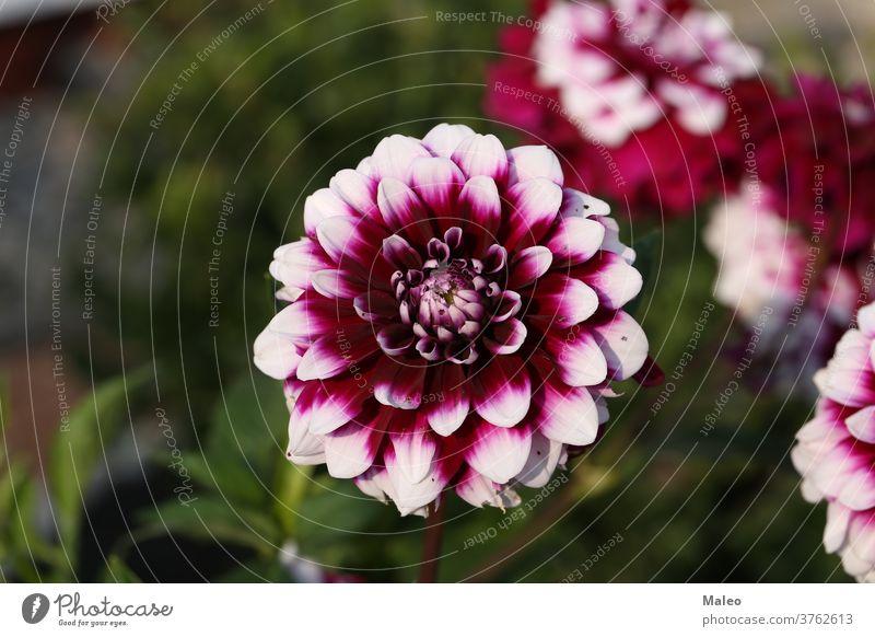 Isolierte natürliche Dahlienblüte auf grünem Hintergrund Ordnung Herbst schön Schönheit Bett Blütezeit Überstrahlung Botanik Blumenstrauß hell Nahaufnahme Farbe