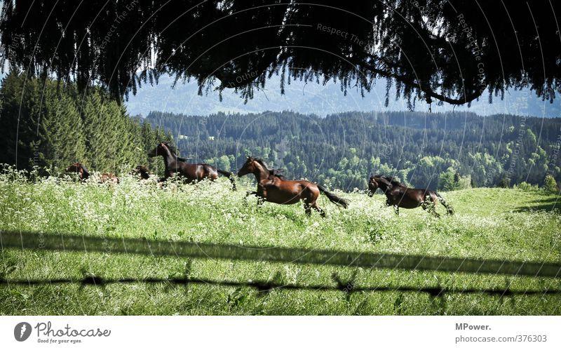 horsepower Umwelt Landschaft Wiese Wald Tier Pferd 3 Tiergruppe Herde ästhetisch Geschwindigkeit schön stark grün galoppieren Allgäu Weide Alpen Bayern braun
