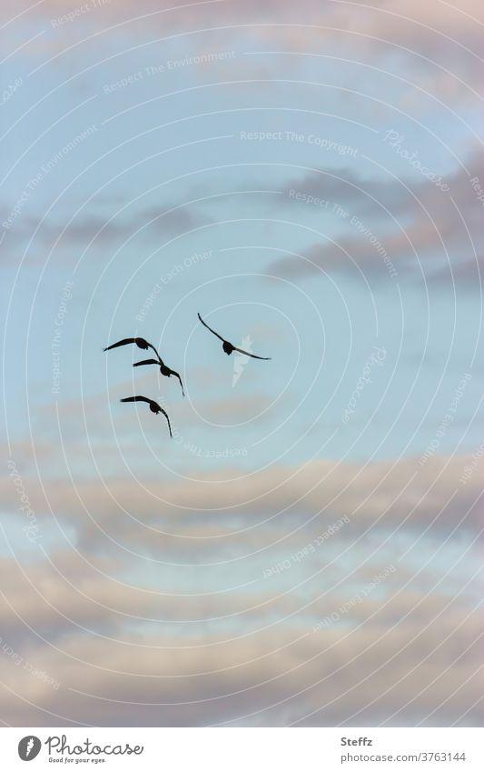heimwärts fliegen Vögel Zugvogel Vogelflug Wildgänse Gänse Himmel Wolken Vögel fliegen zusammen Luft fliegende Vögel Freiheit frei Himmelsblau Graugans Gans