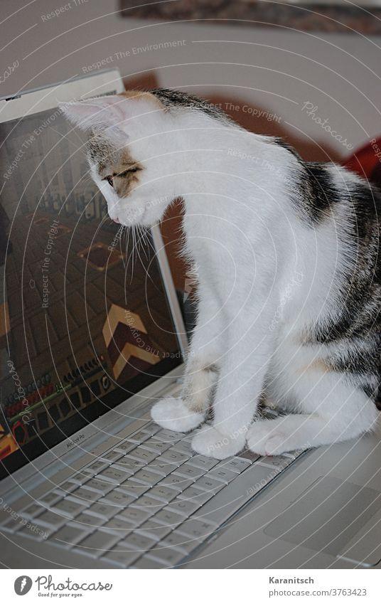 Eine Katze beobachtet den Computerbildschirm. Hauskatze Katzenkind Tier Säugetier Fell weich kuschelig weiß gestreift sitzen beobachten Laptop Tastatur Pfote