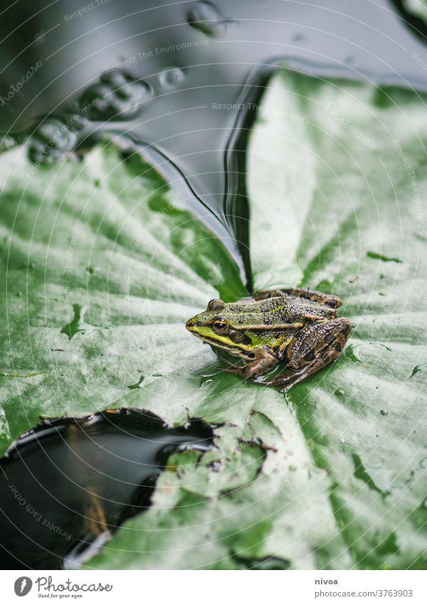 Frosch auf Blatt grün Natur Amphibie Laubfrosch Farbfoto 1 Tier Teich Nahaufnahme braun Außenaufnahme Menschenleer Wildtier Kröte Wasser Tag Froschlurche Umwelt