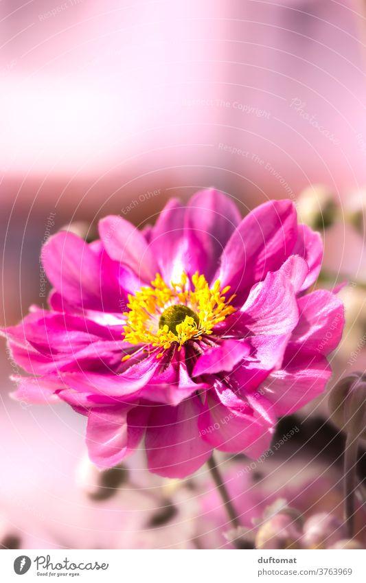 pink flower Blume Blüte blühen blätter Nahaufnahme Sommer Pflanze Garten Farbfoto Pollen Natur schön Duft Menschenleer Umwelt Wiese Wärme duftend Wildpflanze