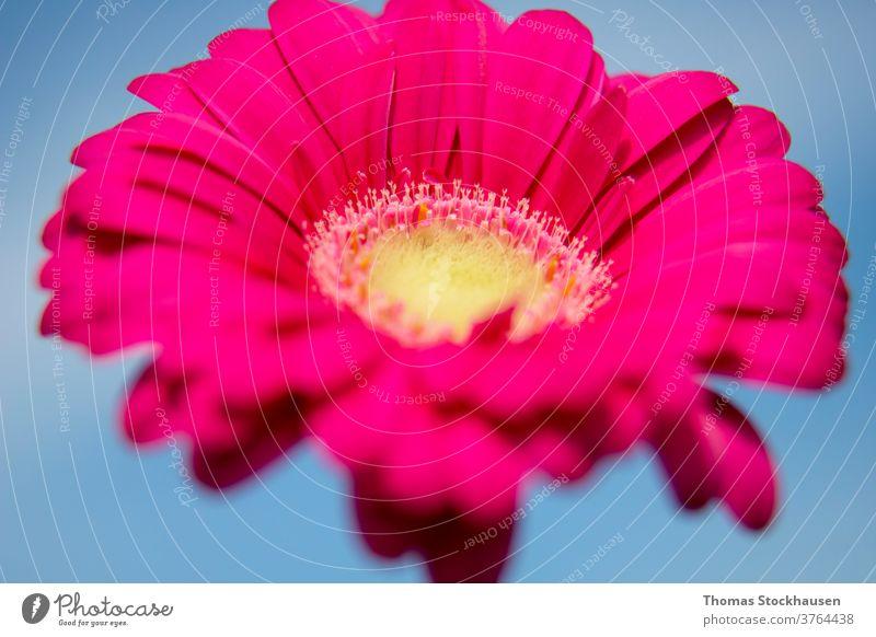 Nahaufnahme der rosa Gerbera-Blüte Afrikanisch Asteraceae Hintergrund schön Schönheit Blütezeit Überstrahlung botanisch schließen Farbe farbenfroh