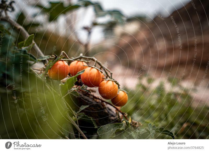 Wildkirschtomaten, die neben einem Wanderweg wachsen Ackerbau Hintergrund Ast Ernte Bauernhof Lebensmittel frisch Frucht Garten grün Wachstum Gesundheit Blatt