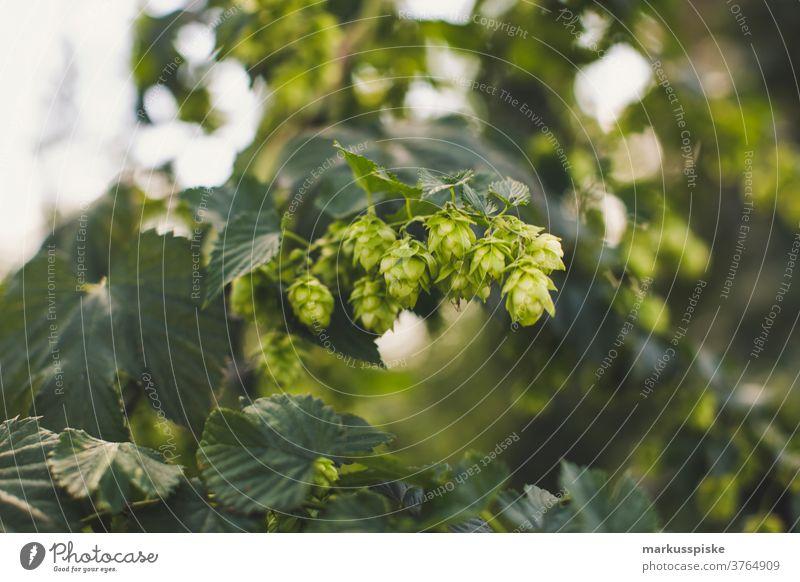 Frischer Bio-Hopfen für Craft Beer agrar Ackerbau ale-brewer Bier Biografie Blütezeit züchten Zucht brauen Brauer Brauerei Brauen Brauen von Bier Cash-Cropping