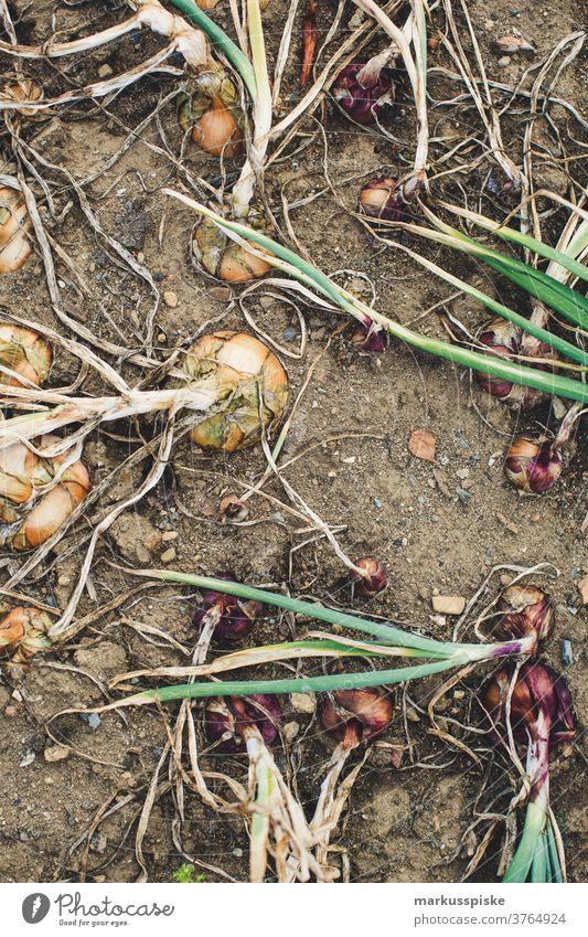 Frische Bio-Ernte Hausgartenzwiebeln Ackerbau Biografie Blütezeit züchten Zucht Kindheit Wintergarten kontrollierte Landwirtschaft Bodenbearbeitung Lebensmittel