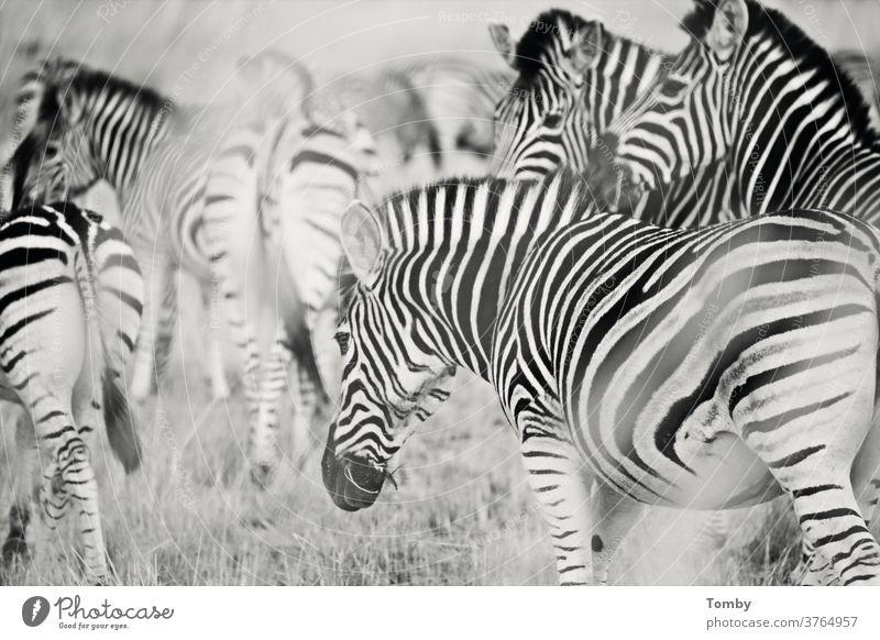 Zebra in der Buschwüste Zebrastreifen zebrastreifen Südafrika Buchse Wildpark Nationalpark Wildtier wildes Leben Afrika Wildtiere Tier