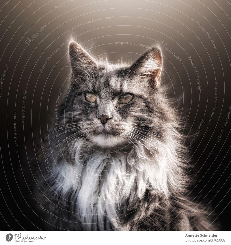 Maine coon Katze katze Rassekatze Fell Langhaarige Katze fluffig Ohrbüschel Ein Tier Haustiere bezaubernd Porträt niedlich schön