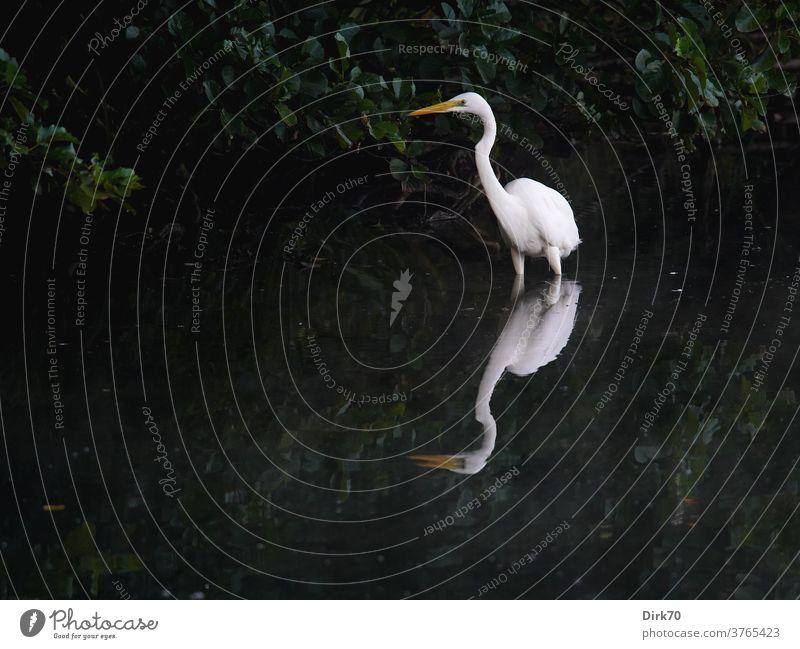 Silberreiher am Seeufer Reiher Vogel Wasser Spiegelung Spiegelung im Wasser weiß elegant schön Kontrast Kontrastreich Tier Natur Außenaufnahme Farbfoto Umwelt
