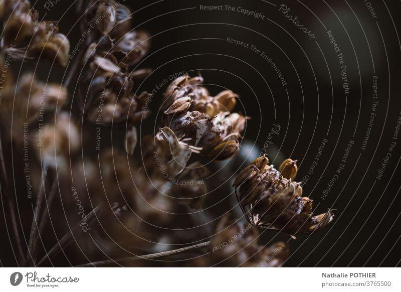 Samenblüte in der Natur. Nahaufnahme. Hintergrund der Natur Blume Garten Kraut vereinzelt Frühling Sommer im Freien Blatt natürlich Makro Pflanze Saison Flora