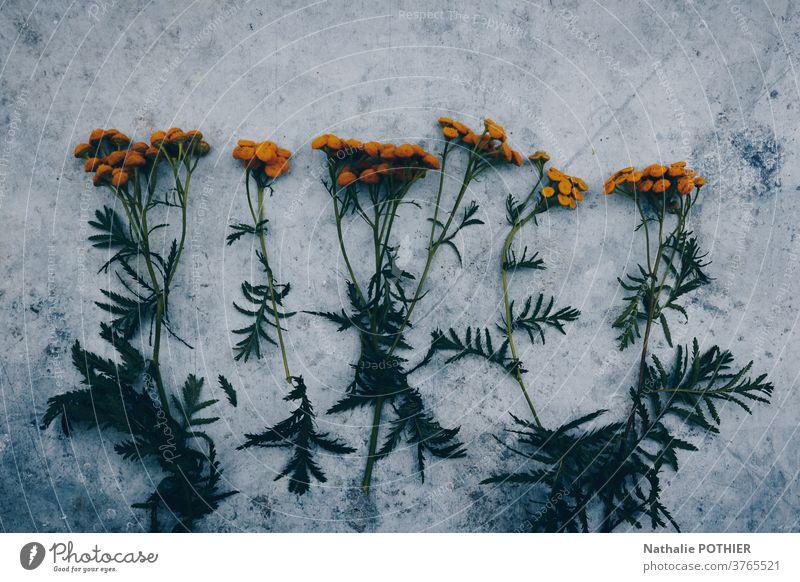 Orangefarbene Blumen aufgereiht auf einem konkreten Hintergrund Gänseblümchen grün orange Design ausgerichtet schön Blüte Dekoration & Verzierung geblümt modern