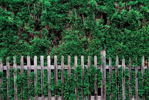 Thuia mit Zaun Hecke Thuiahecke Natur Sträucher Außenaufnahme Farbfoto Tag Pflanze Garten Menschenleer grün Umwelt Sommer Textfreiraum oben grau Gedeckte Farben