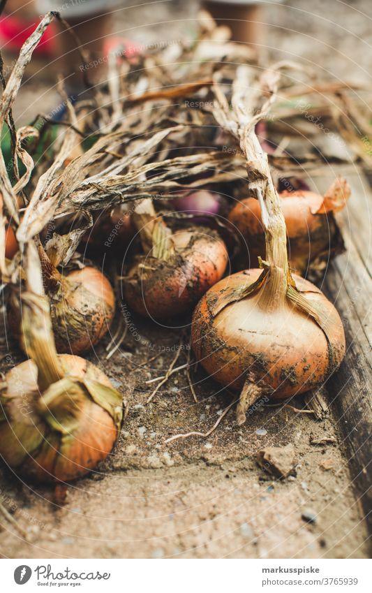 Urban Gardening ernten frische Bio-Zwiebeln Ackerbau Biografie Blütezeit züchten Zucht Kindheit Wintergarten kontrollierte Landwirtschaft Ernte Bodenbearbeitung