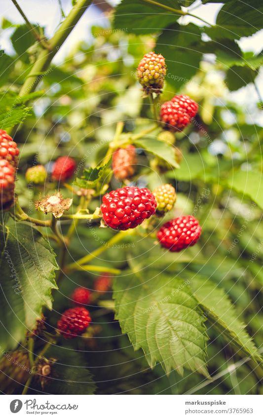 Gewächshaus für Raspberries Ackerbau Biografie Blütezeit züchten Zucht Kindheit Wintergarten kontrollierte Landwirtschaft Ernte Bodenbearbeitung Lebensmittel