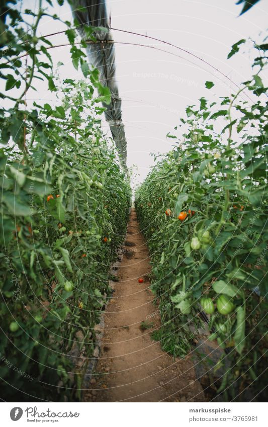 Mega-Gewächshaus für Tomaten und Paprika Ackerbau Biografie Blütezeit züchten Zucht Kindheit Wintergarten kontrollierte Landwirtschaft Ernte Bodenbearbeitung