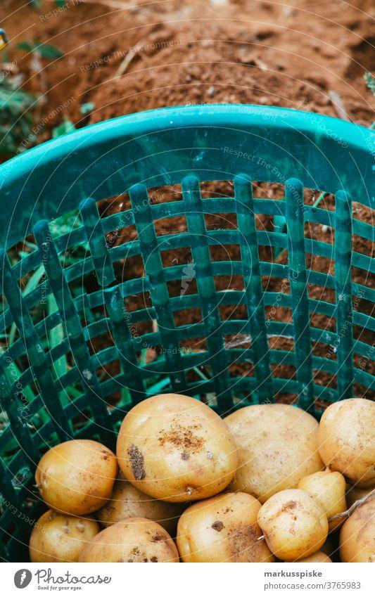 Erntefrische Bio-GVO-freie Kartoffeln Ackerbau Schubkarre Biografie Übertopf kontrollierte Landwirtschaft Bodenbearbeitung Lebensmittel Garten Gartenarbeit