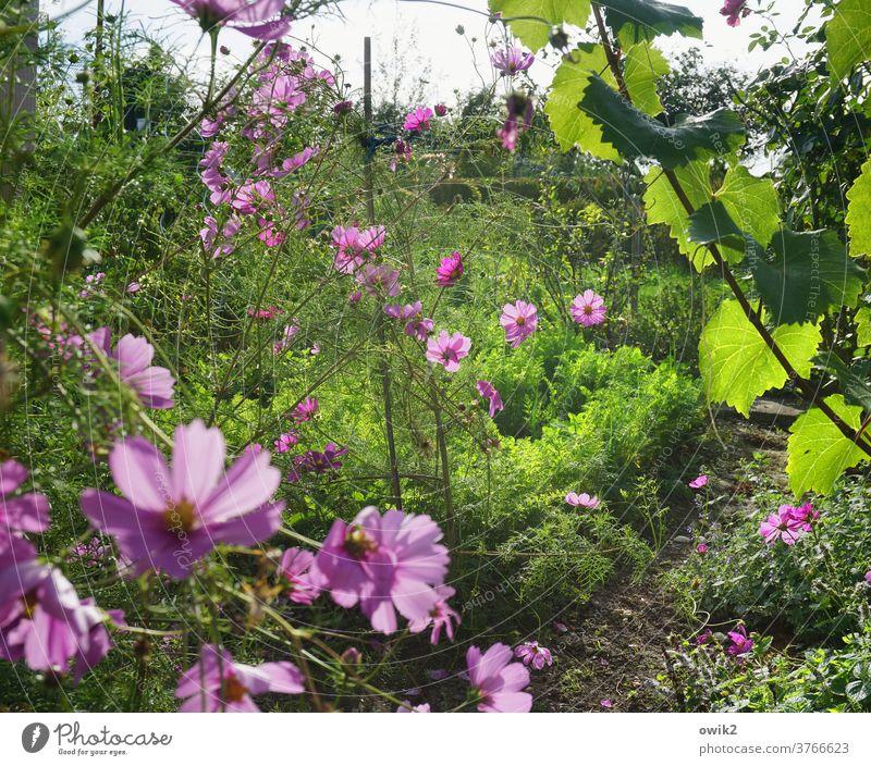 Blütezeit Sommer Sträucher Blume Schmuckkörbchen Himmel hell Wiese Cosmea Menschenleer Sonnenlicht Blüten schön Lebensfreude Außenaufnahme Optimismus Umwelt