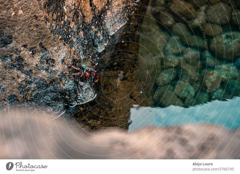 Rote Krabbe, die in das Wasser eines Gezeitentümpels gerät abstrakt Tier Arthropode Hintergrund Strand schön Verhalten blau Nahaufnahme Küste grün Feiertag