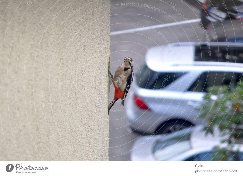 Specht baut Nest in gedämmter Hausfassade Spechtloch Vogel Tier Wildtier Farbfoto Biotop Tierporträt Ökologie Buntspecht Außenaufnahme Nahaufnahme Parkplatz
