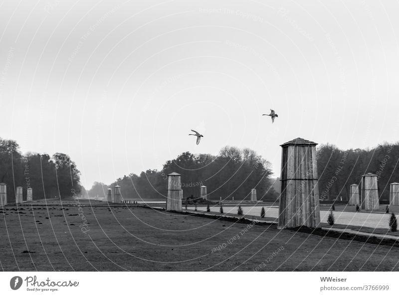 Zwei Schwäne üben Fliegen im Schlosspark Nymphenburg Park winterlich herbstlich kalt schwarzweiß Garten München winterfest melancholisch eingepackt Nebel leer