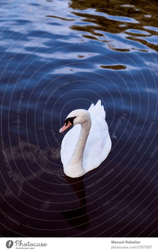 Fotografie eines Schwans Vogel schön Natur Tier weiß Tierwelt Hintergrund Wasser Schönheit Eleganz See blau Reflexion & Spiegelung Feder Flügel wild Landschaft