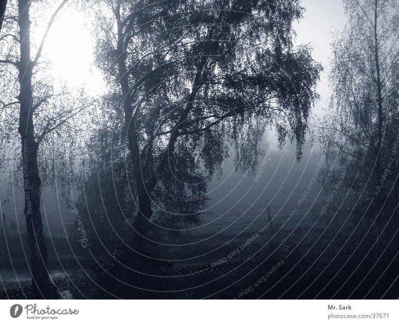Birkendämmerung Natur Baum Nebel Birke