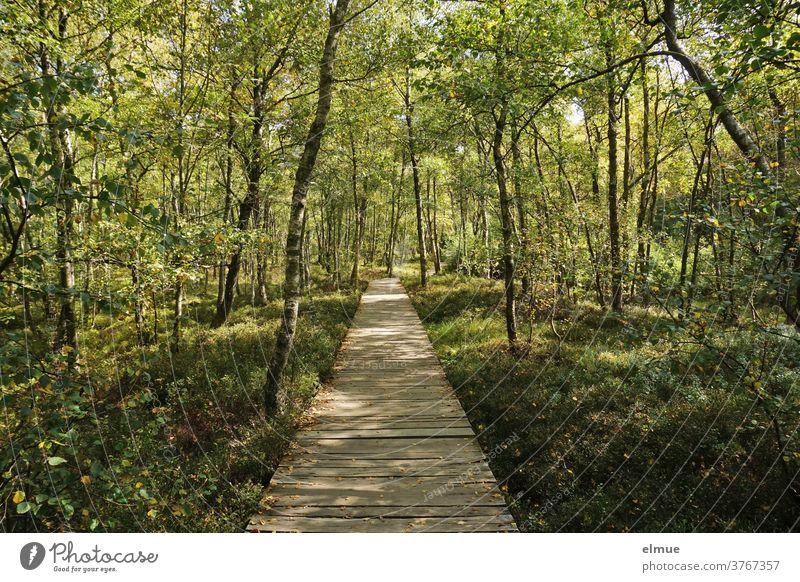 Holzbohlenweg durch das sonnendurchflutete Moor mit Birkenbewuchs Holzweg Moorwald Birkenwald Karpatenbirken Landschaft Pflanzen Wald geradeaus Licht
