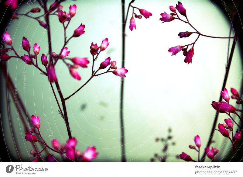 pinkfarbene zarte Blüten vor rundem unscharfem Kugelobjekt Blütenknospen Stengel Blühend Blume Blumenliebe natürlich Gartenpflanzen Naturliebe Pflanze leuchtend