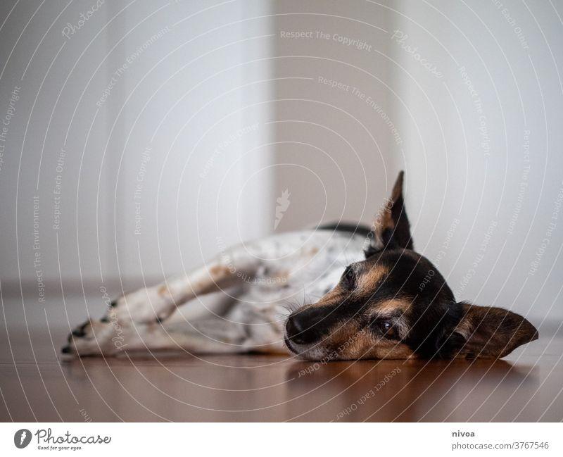 Jack Russel Terrier Jack-Russell-Terrier jack russell liegend Hund Adoption klein braun im Innenbereich weiß Tier Haustier niedlich Lifestyle Reinrassig
