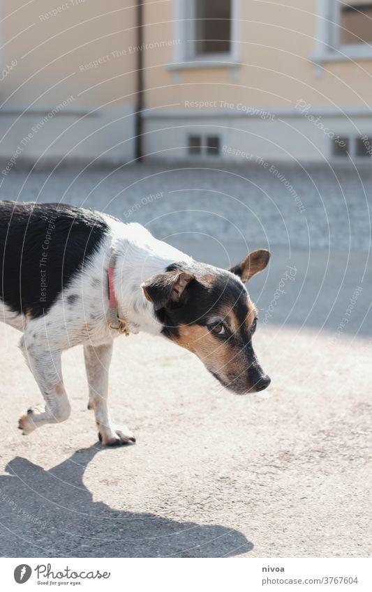 Jack-Russell-Terrier jack russell Hund Haustier klein Tier niedlich Lifestyle 1 weiß Welpe braun gehorsam Außenaufnahme beobachten im Innenbereich Besitzer