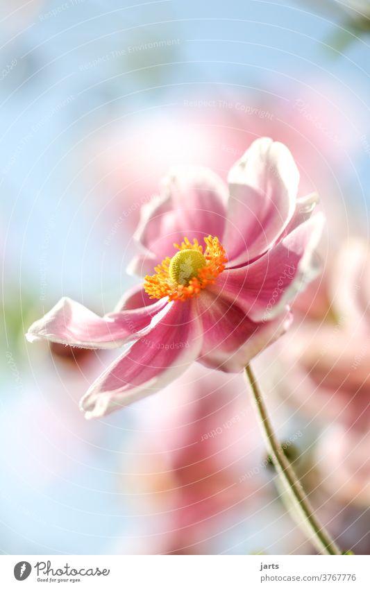 Herbstanemone Blume Altweibersommer Spätsommer Pflanze Blüte Außenaufnahme Farbfoto Natur Garten Nahaufnahme Blühend Menschenleer Detailaufnahme Tag rosa