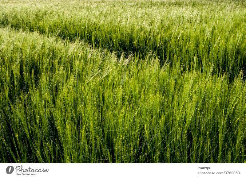 Feld Getreidefeld Natur Landwirtschaft Nutzpflanze Kornfeld grün Umwelt Landschaft Sommer Ackerbau Ernährung natürlich Wachstum ökologisch Pflanze Gras Pflanzen
