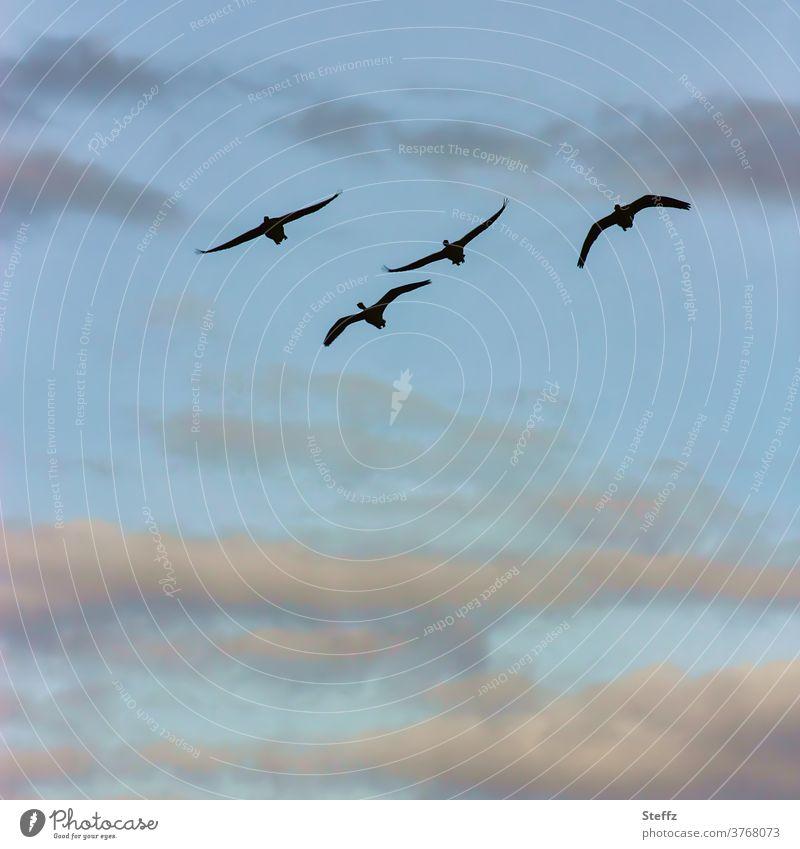 Flugkunst Vögel Vogelflug Wildgänse Zugvogel Graugans Freiheit fliegende Vögel Gänse Himmel zusammen Vögel fliegen Luft frei Himmelsblau Wildgans Flügel anmutig