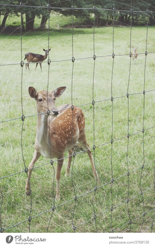 ein rehlein hinter einem zaun Reh Rehe Wildtier Wildtiergehege Gehege Zaun Drahtzaun Wiese heimisch heimische Wildtierart Wald Tier Natur Gras Tierjunges