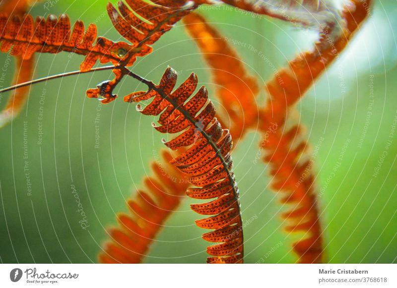 Nahaufnahme von Farnblättern, die sich im Frühherbst rot-orange färben rote Farnblätter abschließen Makro grün orange Farbe Herbstsaison wechselnde Jahreszeit