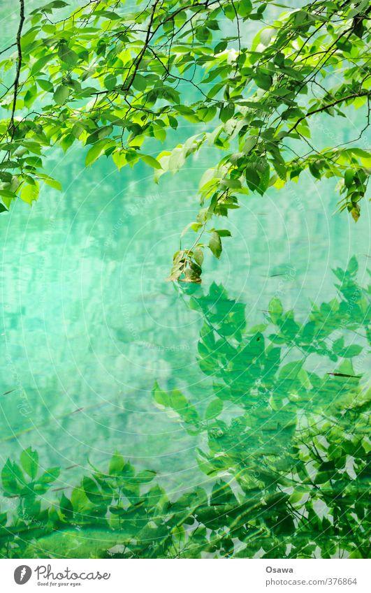 Obersee / Detail Umwelt Natur Landschaft Pflanze Wasser Baum Blatt Grünpflanze Wildpflanze Wald Alpen Seeufer grün Laubbaum Reflexion & Spiegelung