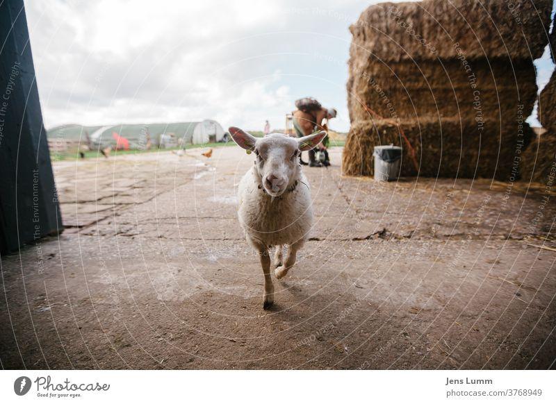 Schaf betritt Scheune Bauernhof Heu Heuballen kalt Sommerurlaub bewölkter himmel Niederlande Sonnenlicht Wolle Jungtier zutraulich neugierig Neugier Stroh