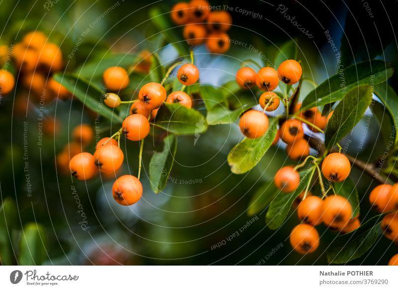 Strauch mit orangefarbenen Beeren und grünen Blättern baie baies Treuhänder feuilles Zweigstelle Hintergrund reif Natur Pflanze Frucht Blatt Herbst Ast