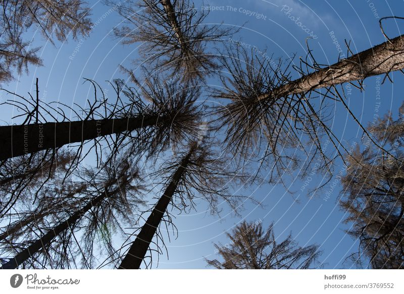 blick hinauf in die toten Baumkronen  - der Borkenkäfer ist da borkenkäferbefall Waldsterben Holz baumstämme Baumstamm Raummeter Klimawandel Forstwirtschaft