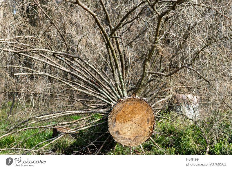 gefällterBaum - der Borkenkäfer ist da borkenkäferbefall Waldsterben Holz baumstämme Baumstamm Raummeter Klimawandel Forstwirtschaft Natur Umwelt Abholzung Tod