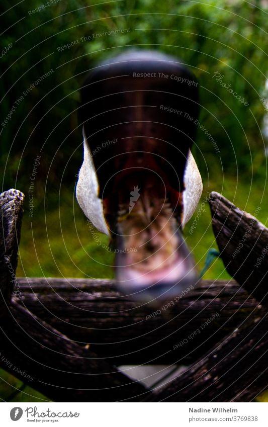 Schwäne sind manchmal aggressiv Schwan Wasser See Vogel Tier weiß Natur Schnabel Außenaufnahme Farbfoto schnappen offen offener mund Nahaufnahme ausfüllen