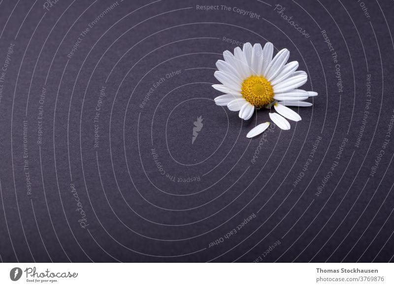 einzelnes Gänseblümchen auf anthrazitfarbenem Hintergrund. daneben einzelne Blütenblätter schön Schönheit schwarz Blütezeit Überstrahlung Botanik Kamille