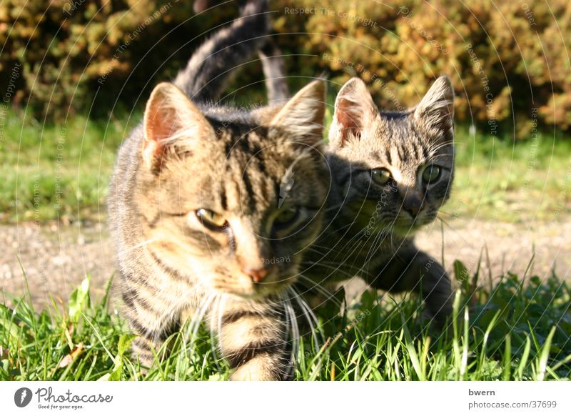 zwei Tiger Katze Natur Tier Jagd Haustier Pfote schleichen