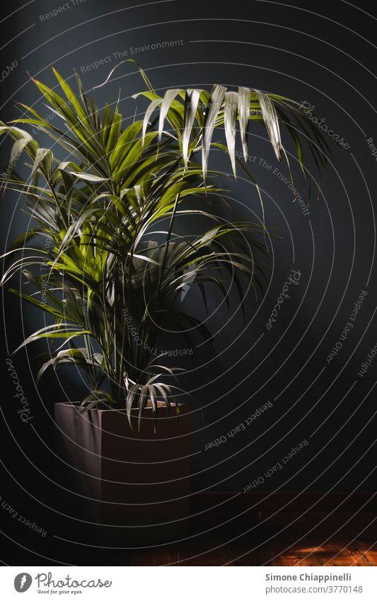 Innenbereich Areca-Palme Bambus Bambuspalme Dypsis lutescens grün Natur Pflanze im Innenbereich Blatt frond schwaches Licht Sonnenuntergang Innenaufnahme